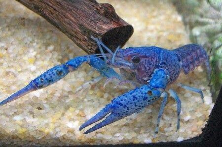 Procambarus alleni...acqua dolce...