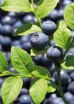 Love life, love health# Take Bilberry For Night Blindness