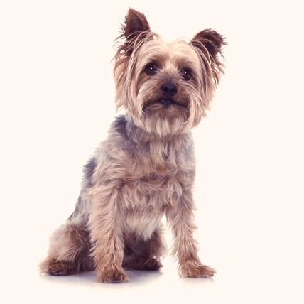 7 of the Longest Living Dog Breeds on Earth | PetCareRx