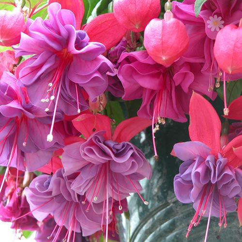 Fuchsia Charlie Dimmock flowers -  very large double blooms.