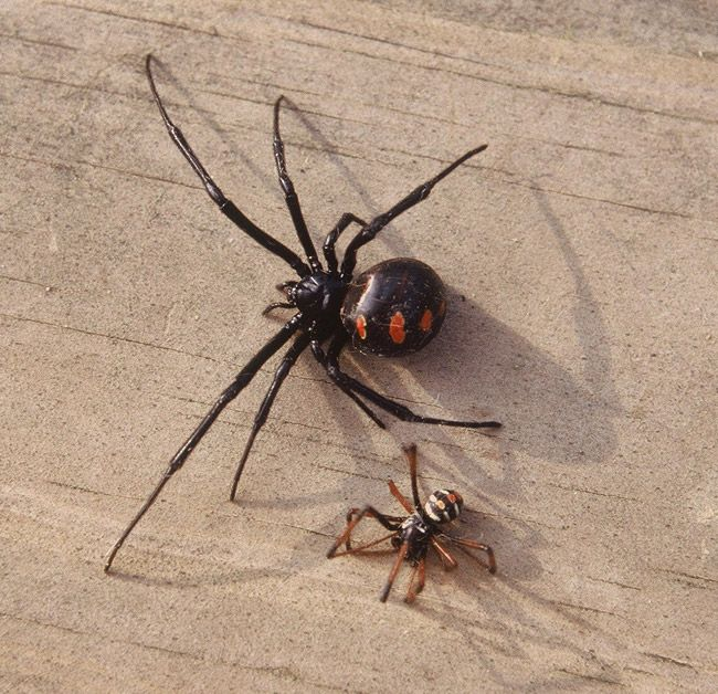 are black widow spiders deadly - 650×628