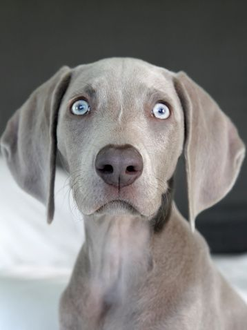 top 25 best blue weimaraner puppy ideas on pinterest. Black Bedroom Furniture Sets. Home Design Ideas