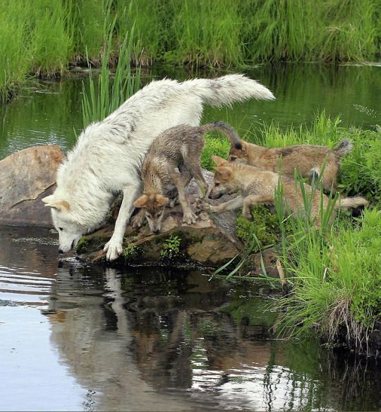 Timber wolf with pups by Herbert Fields