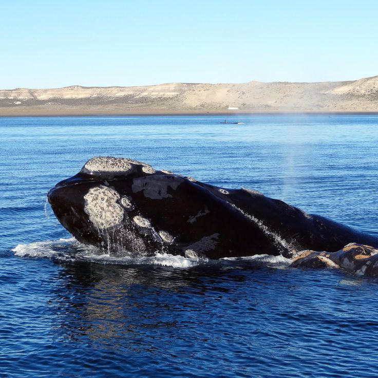 Whale watching with Ivanhoe Sea Safari's will just be the best this October 2014. Stay at Gorden's Beach Lodge and take part in Whale watching and save!  Phone Gordon's Beach Lodge now to make a booking for October whale watching festival! Phone021 856 3519 Emailinfo@gordonsbeachlodge.co.za