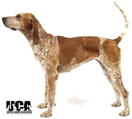 English Coonhound Also known as the American English Coonhound and the Redtick Coonhound, this hound dog evolved from English Foxhounds (called Virginia Hounds here in the States) and was used for fox and coon hunting. http://www.akc.org/breeds/american_english_coonhound/history.cfm