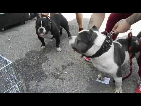cute puppies and funny american bully 40 days - YouTube
