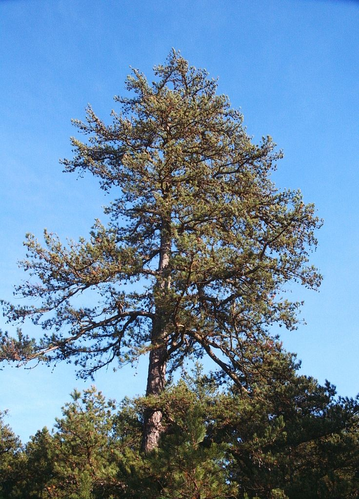 17 best images about native woody plants of the northeast database on pinterest