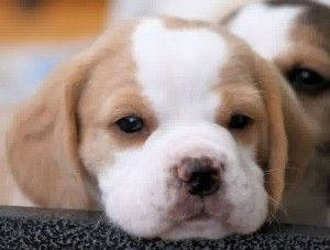 ***lemon beagle puppy sweetie