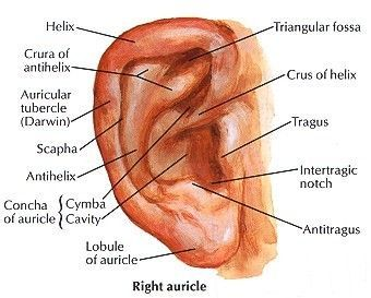 1000+ ideas about External Ear Anatomy on Pinterest | Ear anatomy ...