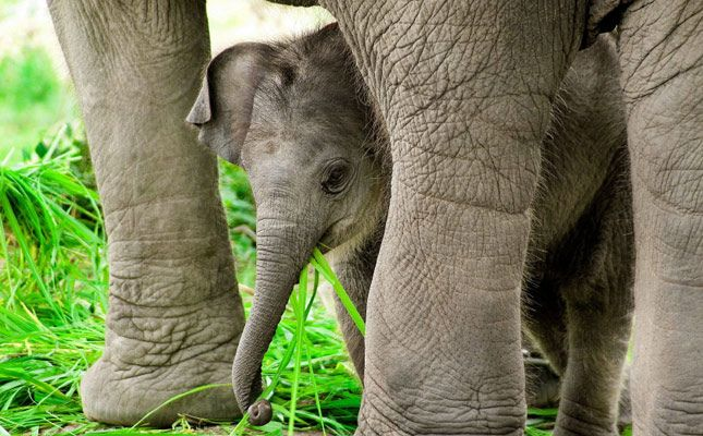Baby Asian elephant protected by its mother