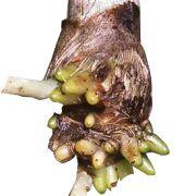 Dicas e cuidados com as raízes das orquídeas.