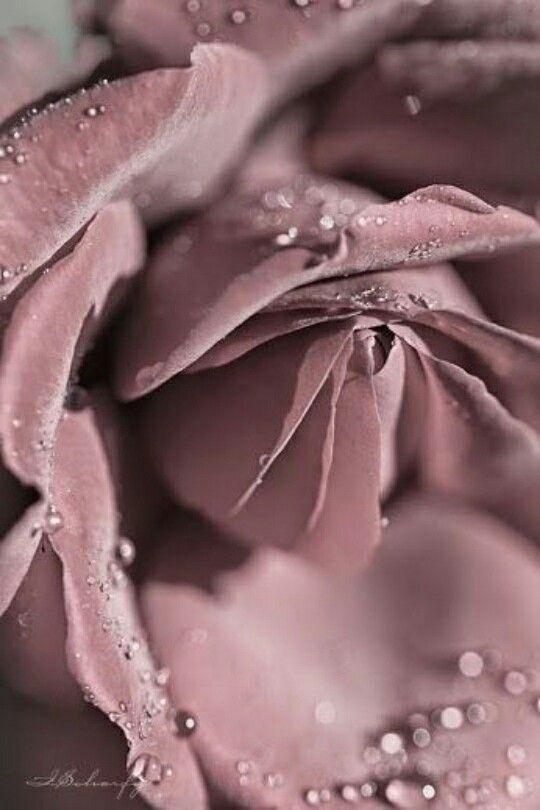 пепел розы картинки кому