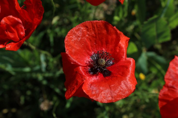 The red and black contrast in poppies is spectacular!