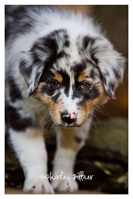 Puppy Love! Rugby the Australian shepherd puppy. (c) Shirley Bittner. #aussie