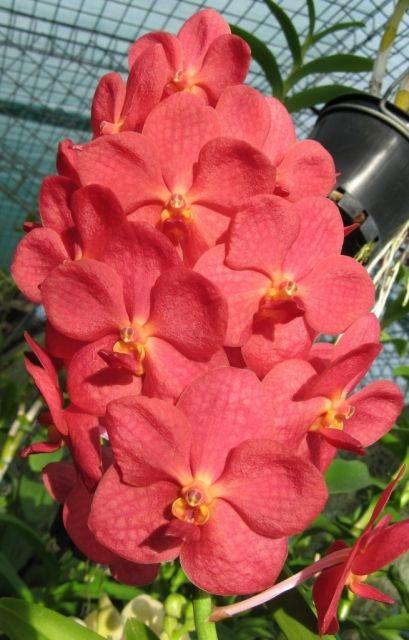Fuchs Katsura X Vanda Orchid | Ascocenda Fuchs Ruby