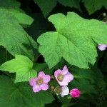 Rubus odoratus. Rosenhallon Höjd: 1,5-2 meter Zon: 6 Det finns få buskar som ger ett så lummigt intryck som rosenhallonet. Under juli-augusti blommar den med 5 cm stora rosaröda blommor. Bladen är vackert gröna med fin form. Se bara till att inte plantera rosenhallonet med andra sorter eftersom det gärna sprider sig med rotskott. Rotskott och 2-åriga grenar tas bort.
