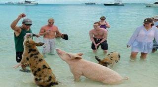 Viajar hasta una pequeña isla privilegiada del Caribe y ser recibido por cerdos salvajes solo es posible en Big Major Cay, en el archipiélago de las Bahamas.