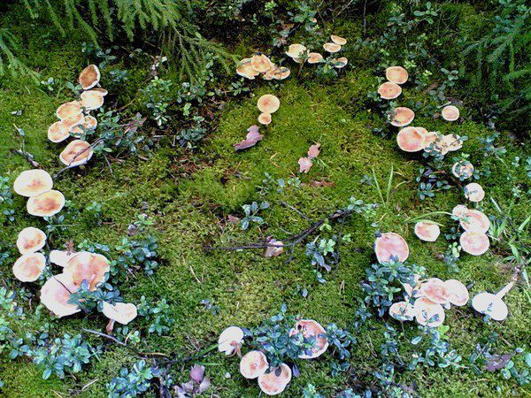 This explains a bit of why mushrooms remind me of fairies :)