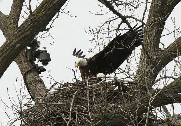 Raptor resource decorah eagles ustream live webcam