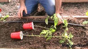 Za chvíľu tu máme sezónu paradajok a všetci, ktorí sadili paradajky do krabičiek v marci dobre vedia, že ich čaká ešte posledná úloha. V polovici mája nasleduje druhá časť – zasadenie paradajok do pôdy. Vďaka týmto 4 trikom znásobte svoju úrodu 1. Paradajky je najlepšie sadiť horizontálne tak, aby sa listy dotýkali pôdy. Vďaka tomu […]
