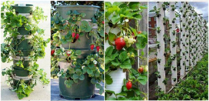 Hogyan ültessük és gondozzuk az epret