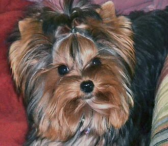 Yorkshire terrier breeders northern california