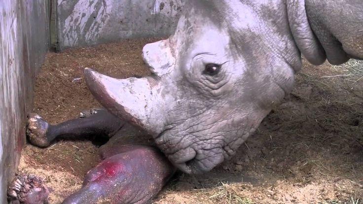 Naissance d'un bébé rhinocéros à Pairi Daiza