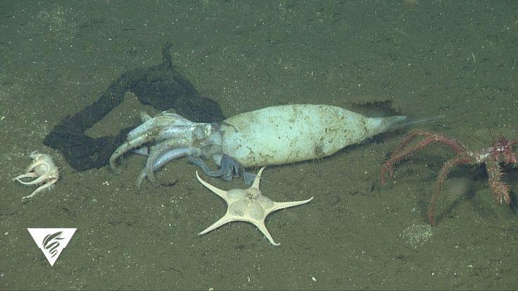 Deepsea discoveries squid graveyard ocean creatures