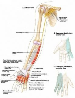 Ulnar Nerve Entrapment - Physiopedia, universal access to physiotherapy knowledge.