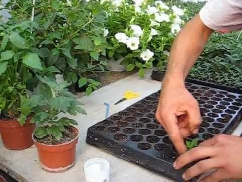 BUTĂȘIREA FLORILOR- Producător flori de grădină si de balcon- www.florighiveci.ro - YouTube