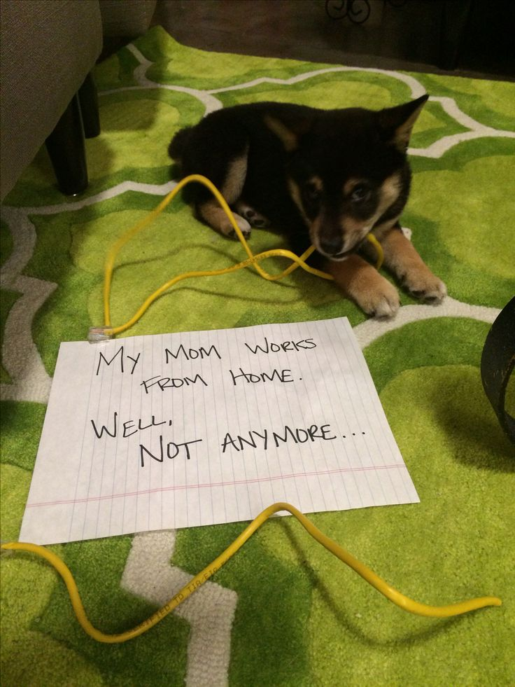 bad dog chews cord dog shaming cuuuuuute pinterest dog animal and doggies. Black Bedroom Furniture Sets. Home Design Ideas