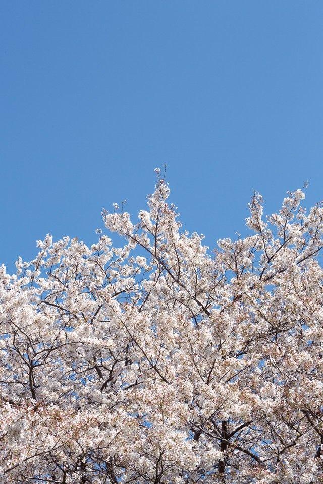 「桜の花と青空」のフリー写真素材