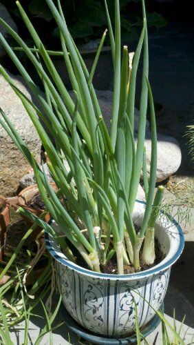 How to Grow Green Onions in a Pot
