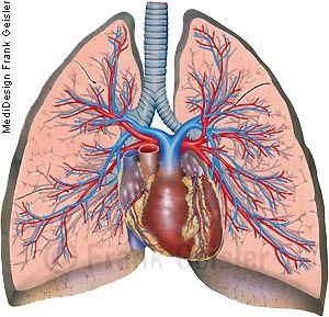 Anatomie Mensch Atemorgan Lunge Pulmo, Lungen mit Herz und Gefäße des Lungenkreislaufs