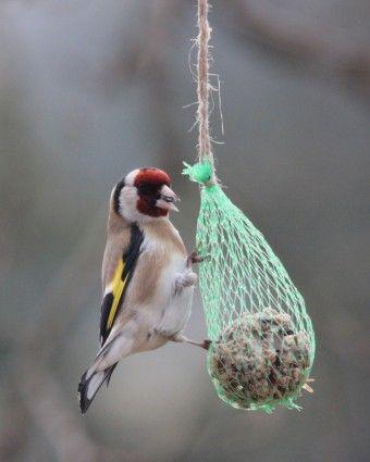 stieglitz bird wing