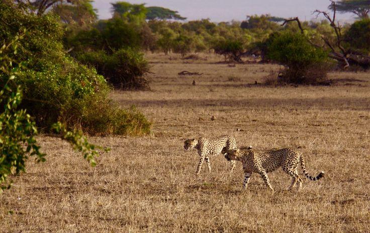 Lovely cheetahs in Amboselli National Park, Kenya.