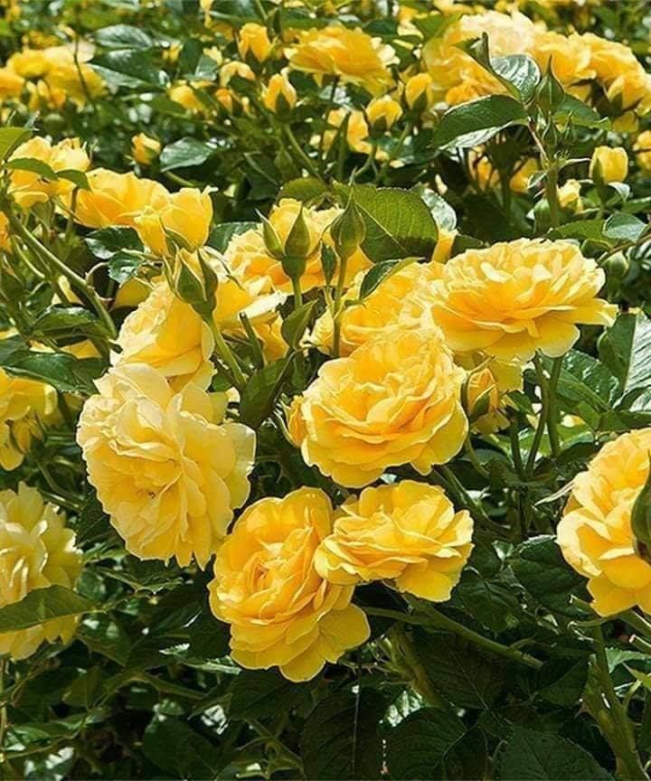 Pin By Pam Harbuck On Yellow Roses Planting Roses Rose Care