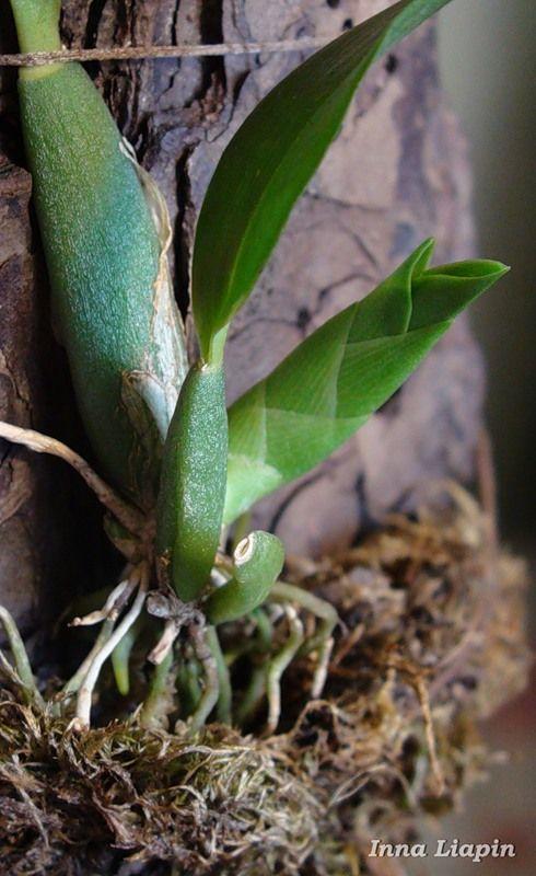Статьи Инны Ляпиной из ЖЖ об орхидеях, их болезнях и методах лечения.