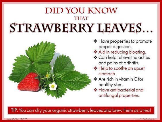 Strawberry leaves tea - benefits