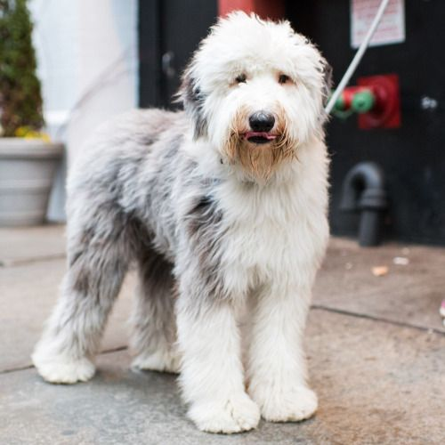 Leica, Old English Sheepdog (1 y/o), Bleecker & Wooster St, New York, NY