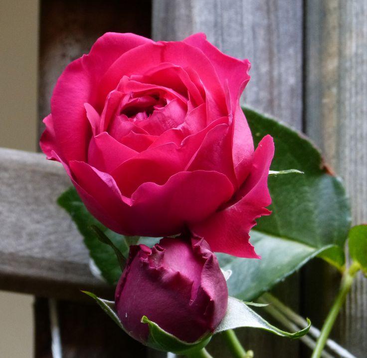 Harmony of petals...