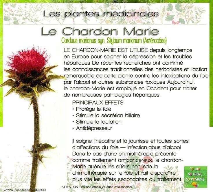 PLante médicinale : le Chardon Marie