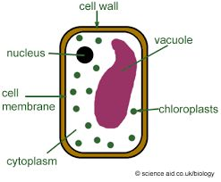 Image result for palisade cell model