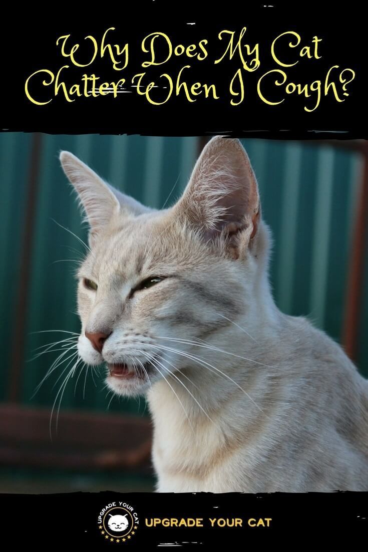 My Cat Chatters When I Cough What Does This Mean Upgrade Your Cat Cat Behavior Cats Cat Training