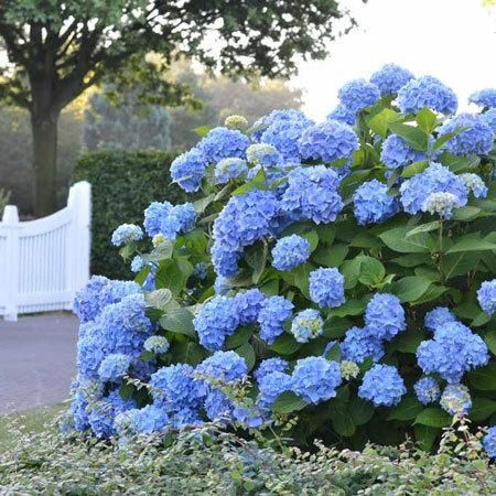 25 best ideas about endless summer hydrangea on pinterest for Typical landscaping plants