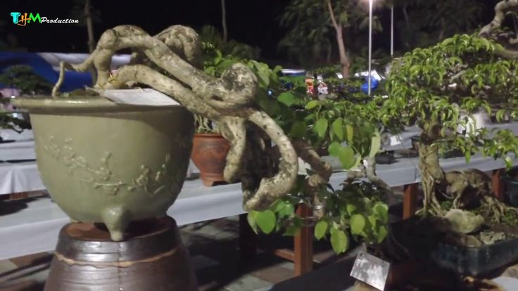 Expo bonsai and bonsai nationwide in Haiphong
