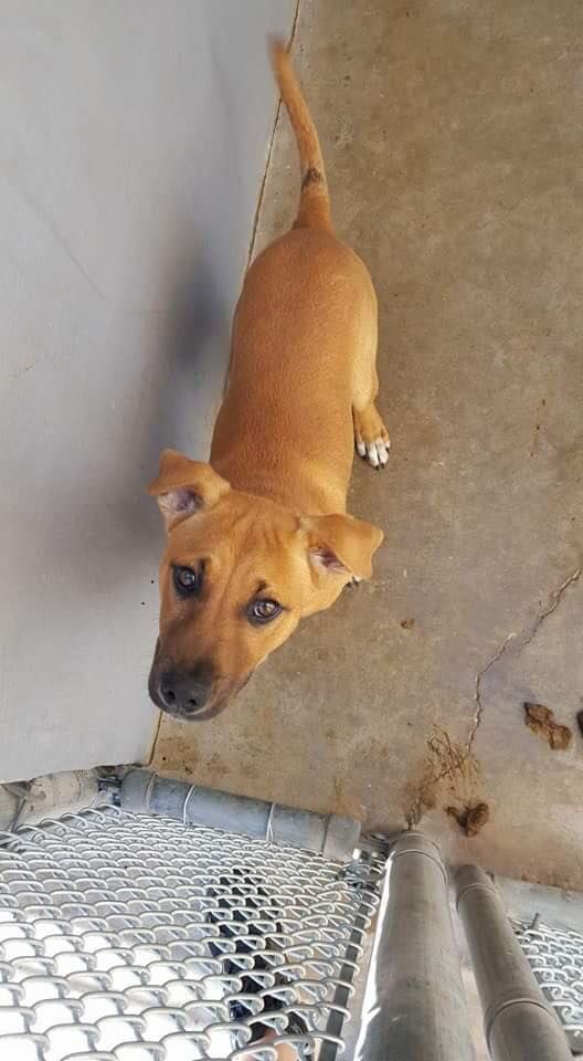 PLEASE ADOPT, PLEDGE, SHARE, RESCUE, **FOSTER** for this Pup!! Plays well with Kennel Mate!! Amarillo Shelter Dogs SASD - G20 male Lab mix pu https://www.facebook.com/SASDOGS/photos/a.1581165238799547.1073741829.1579123245670413/1722094651373271/?type=3&theater