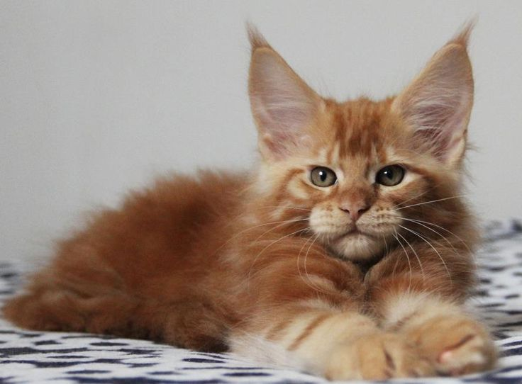 Ch. Kashmir of Vingilot. 8 weeks old. Beautiful Maine Coon baby.