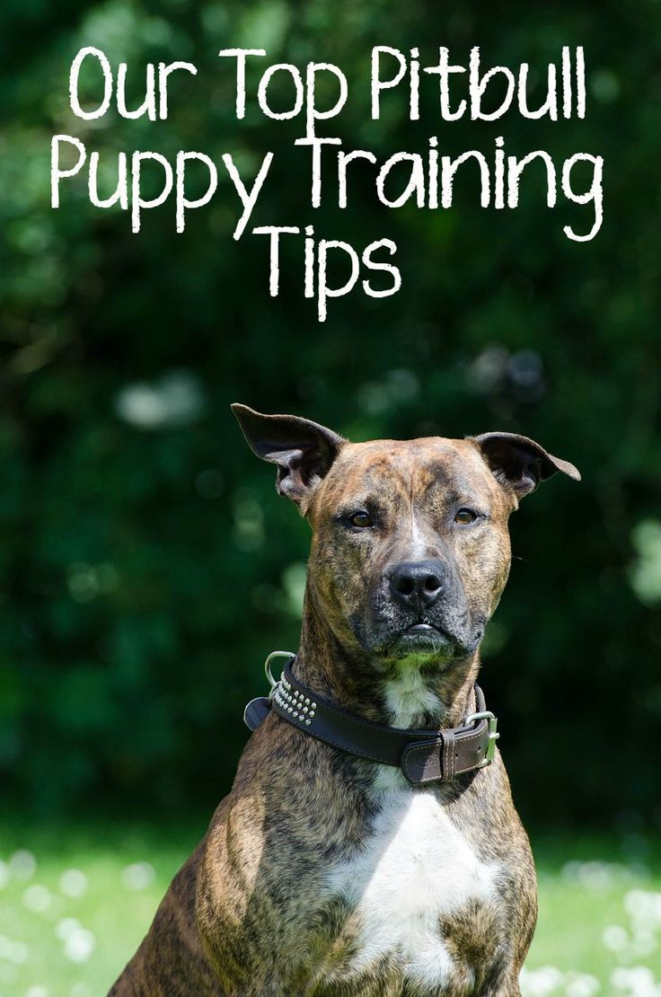 Thinking of bringing home a new pit to your family? Check out all our top…