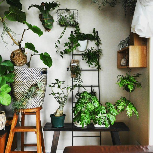 ラダー/植物/観葉植物/リビングのインテリア実例 - 2015-07-09 22:10:14 | RoomClip(ルームクリップ)